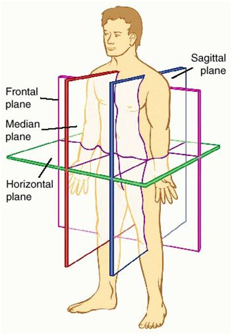 body orientation direction planes and sections rob schneider anatomical position