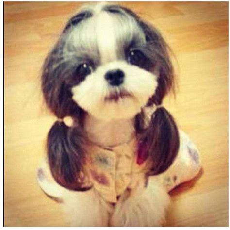 i want a shih tzu i want my shih tzu to this haircut so adorable doggys shih