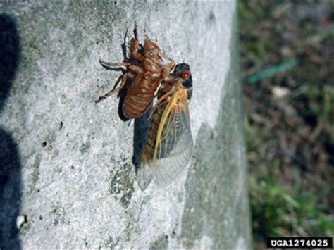 scfc 13 year cicadas