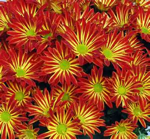 Snapdragon Flowers Australian Seed Gazania Sunshine Mix