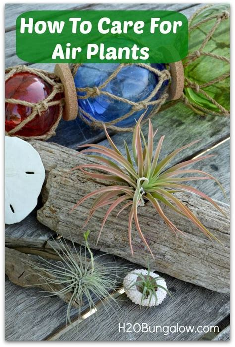 how to care for air plants gardening pinterest