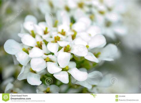 fiori bianchi piccoli piccoli fiori bianchi fotografie stock libere da diritti