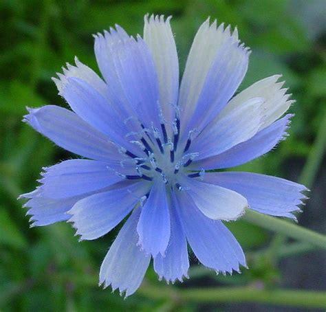 fiore di bach chicory chicory