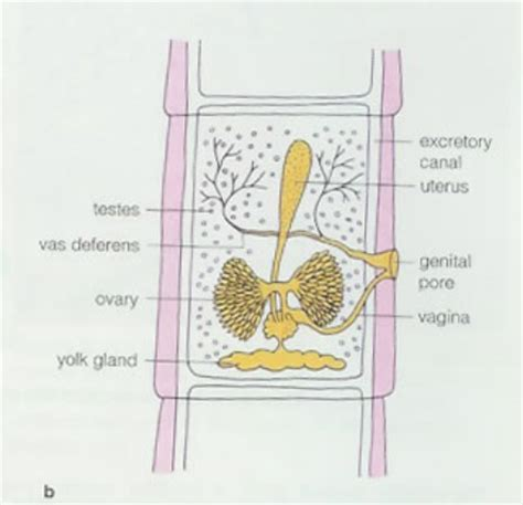 tapeworm diagram tapeworm reproduction within the different phylums