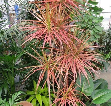 Tanaman Bromel Tricouler tanaman dracaena marginata tricolor bibitbunga