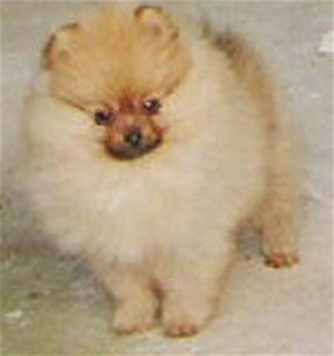how much are pomeranian puppies for sale 301 moved permanently