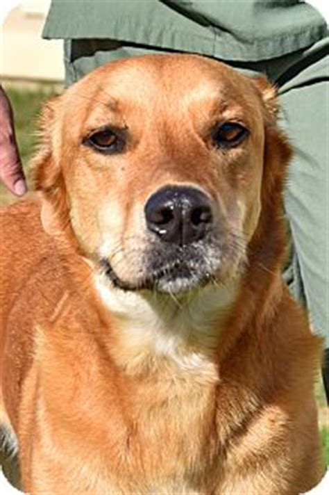 greyhound golden retriever mix cheshire ct golden retriever greyhound mix meet a for adoption