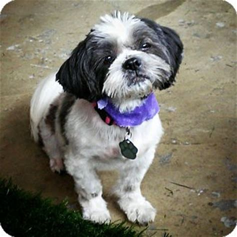 shih tzu rescue ohio urbana oh shih tzu mix meet tiki a for adoption