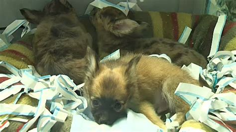 puppy store in mall edmonton humane society issues warning new pet stores selling puppies ctv