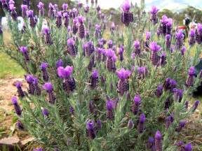 file topped lavender jpg wikimedia commons