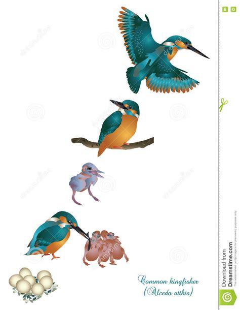 het levenscyclus van gemeenschappelijke ijsvogel stock