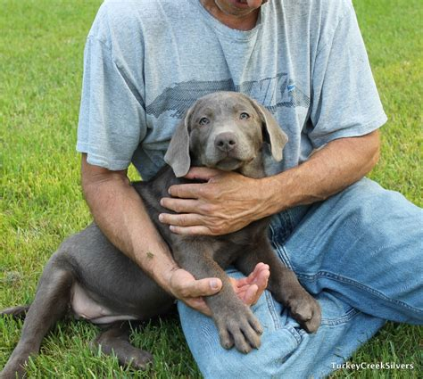 silver lab puppies for sale in sc puppies for sale labrador retriever silver labrador retriever f category in