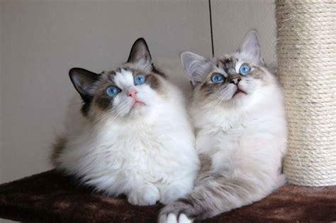 animale da appartamento razze gatti il gatto le diverse razze di gatto