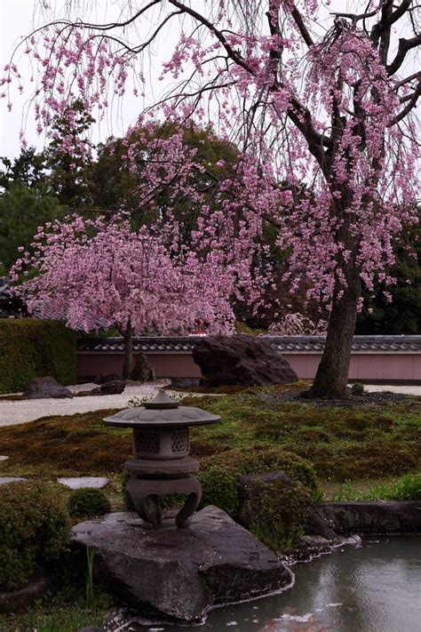 6 cherry tree gardens ramsgate weeping cherry trees at shoho ji temple kyoto japan 正法寺 京都 japanese gardens