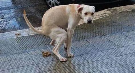 Allontanare Cani Che Fanno Cacca by Scivola Su Una Cacca Di Finisce In Ospedale Con L