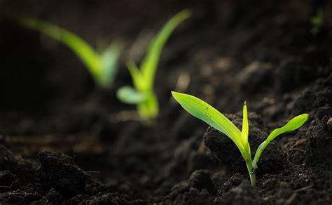 growing strong seedlings