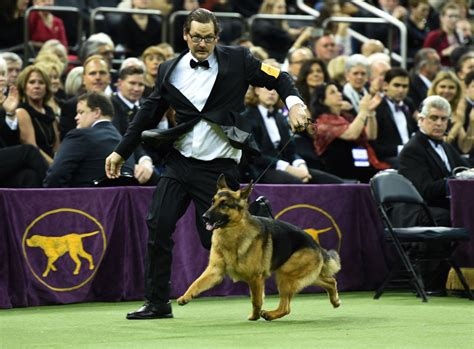 westminster show 2017 best in show best in show rumor has it at westminster show toronto