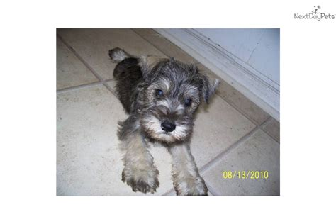 miniature schnauzer puppies for sale in alabama schnauzer miniature puppy for sale near birmingham alabama ca8f5dc0 2c81