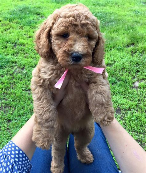 goldendoodle puppy adoption we are a reputable naples florida doodle breederwe are a