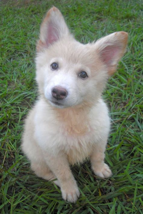 white german shepherd puppies the white fluffy shepherd puppy adopted the liberator