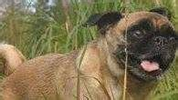 loca the pug is dead loca the pug dead 5 fast facts you need to heavy