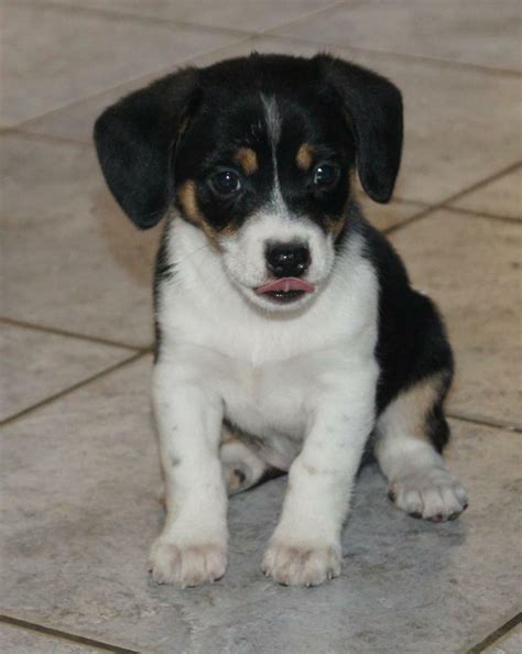 chihuahua yorkie beagle mix beagle chihuahua mix a complete guide to this mixed breed breeds picture