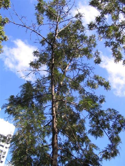 grevillea robusta silky oak