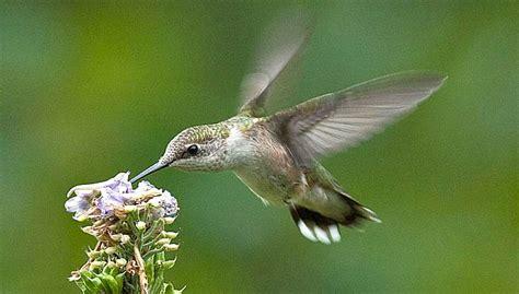 northwest gardening hummingbird garden