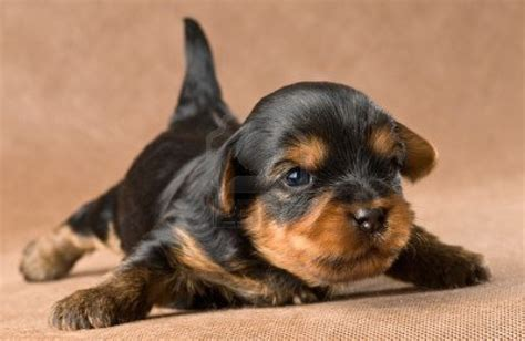 yorkie puppies ta raza de perros terrier breeds picture