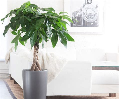 money plant in bedroom the feng shui money tree fosters prosperity