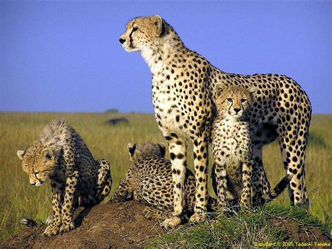 urial wallpapers animals town cheetah wallpapers animals town