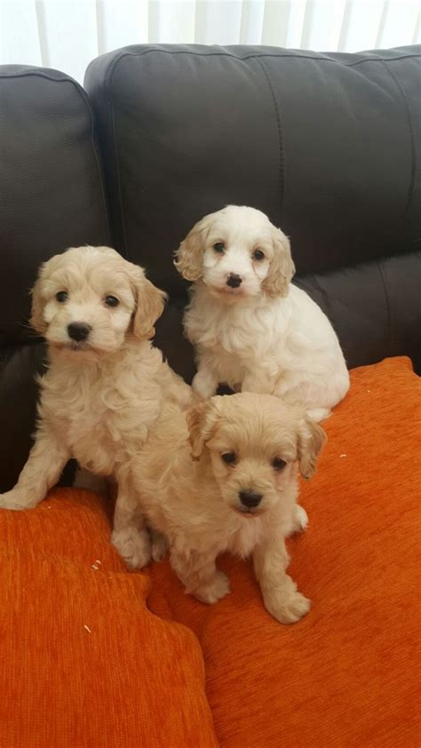 cockapoo puppies for sale cockapoo puppies for sale 675 manchester greater