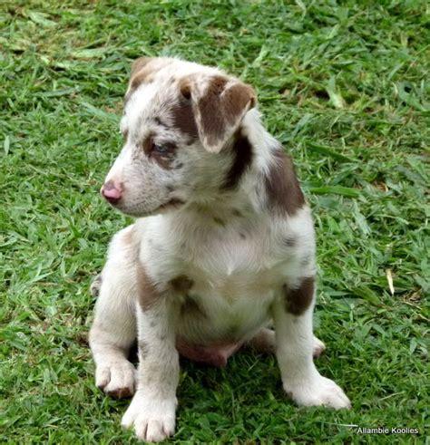 koolie puppies for sale australian koolie puppies koolie in qld for sale breeds picture