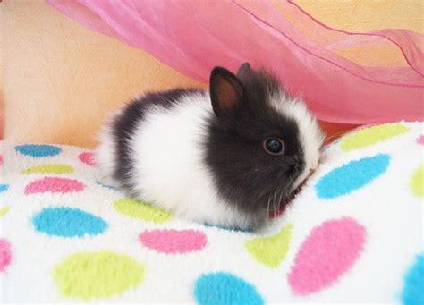 b07csr31fb la tete du lapin bleu lapin noir et blanc