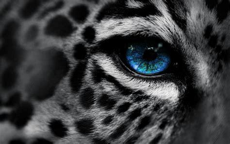 4k wallpaper open your eyes leopard wallpaper blue eyes hd desktop wallpapers 4k hd