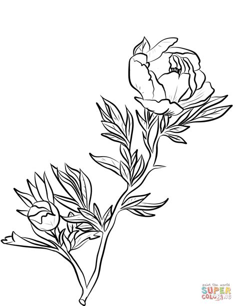 peony coloring page free printable coloring pages