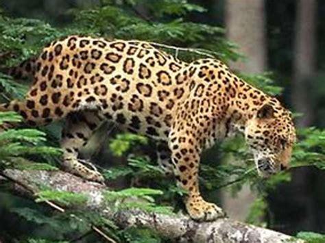 imagenes del jaguar mexicano jaguar