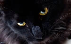 schwarze le schwarze katze