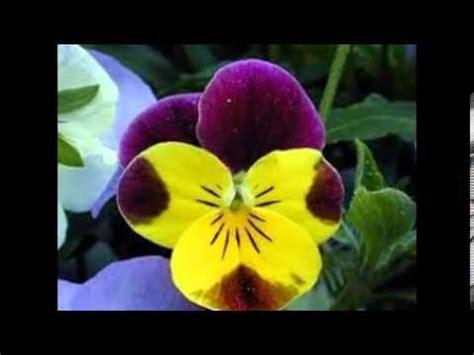 imagenes de flores llamadas pensamientos flores exoticas de mexico youtube