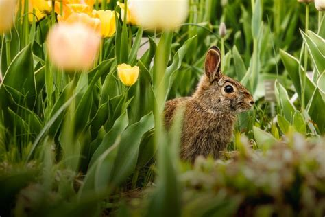 how to keep rabbits out of vegetable garden 3 ways to keep rabbits out of the garden