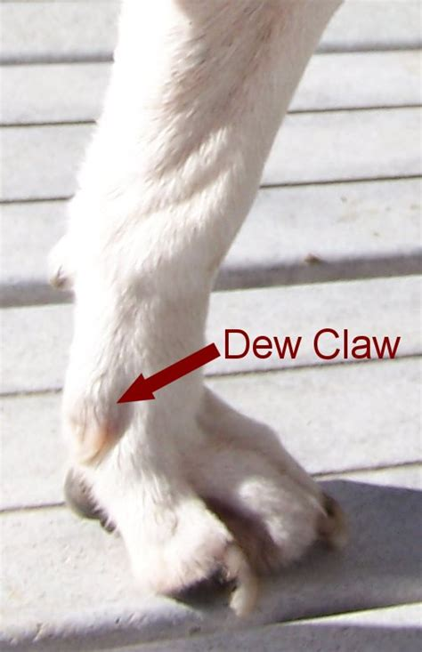 dew claw removal dew claws why remove dew claws from beagle puppies