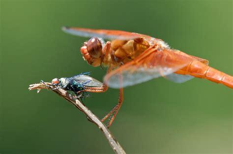 dragonflies images dragonflies by graham owen hd wallpaper