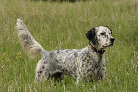 setter dog english setter all big dog breeds