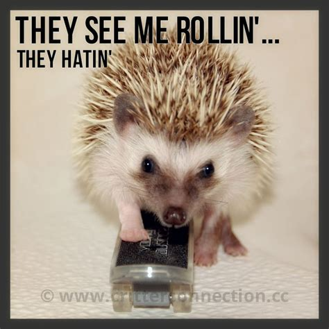 Hedgehog Meme - best 25 hedgehog meme ideas on pinterest baby hedgehogs