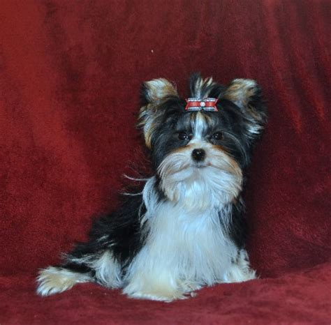 parti color yorkie parti yorkies parti color yorkies for sale