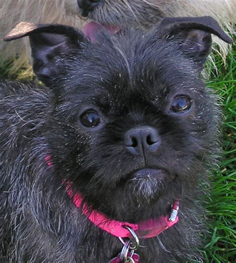 boston terrier yorkie successful placements