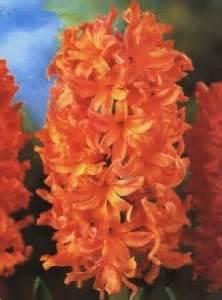 linguaggio dei fiori perdono giacinto linguaggio dei fiori giacinto linguaggio