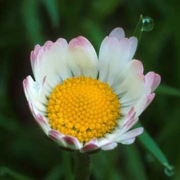 fiore angiosperme angiosperme
