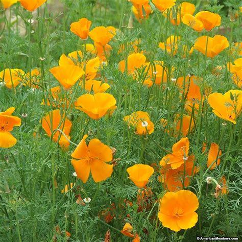california poppy california poppy seeds eschscholzia american meadows