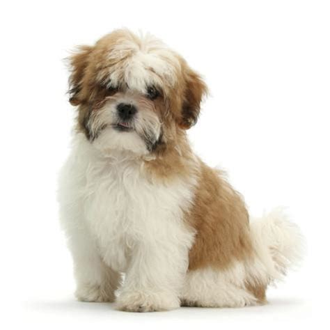 shih tzu sitting maltese cross shih tzu pup leo 13 weeks sitting photographic print by